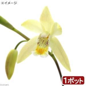 花壇やグランドカバーに!山野草 黄花シラン(黄花紫蘭)特長●シランは本州、四国、九州に見られるランの...