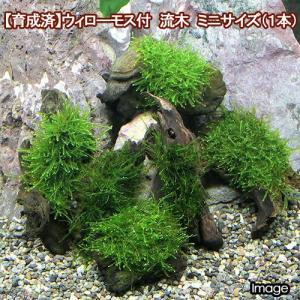 (水草)育成済 ウィローモス 流木 ミニサイズ(8cm以下)(無農薬)(1本) 北海道航空便要保温