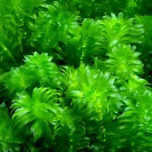 (水草)メダカ・金魚藻 国産 無農薬アナカリス(10本) 北海道航空便要保温|chanet