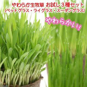 (観葉植物)猫草 やわらか生牧草お試し3種セット(ペットグラス・ライグラス・スーダングラス)(無農薬) 猫草|chanet