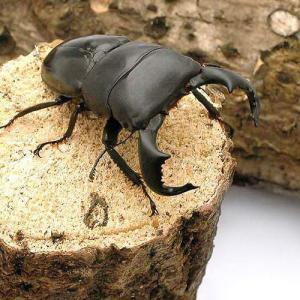 (昆虫)ダイオウヒラタクワガタ 東ジャワ アルゴプーロ産 成虫(WD)80〜84mm(1ペア)