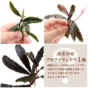(水草)おまかせブセファランドラ1種(無農薬)(1株) 北海道航空便要保温|chanet