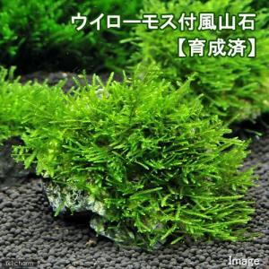 メーカー:草■0〜30 メーカー品番:【8〜11cm】 _wp _aqua 熱帯魚・エビ他 エビ用水...