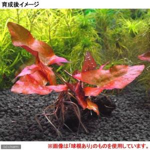 (水草)(新芽あり)タイニムファ 球根(無農薬...の詳細画像1