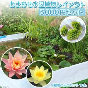 (ビオトープ/水辺植物)おまかせ水辺植物レイアウト(スイレン付) 3000円セット 本州四国限定 お一人様1点限り|chanet