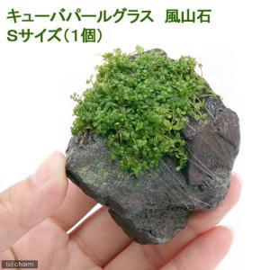 (水草)巻きたて キューバパールグラス 風山石 Sサイズ(約10cm)(無農薬)(1個) 北海道航空...