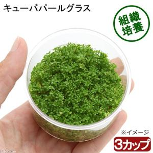 (水草)組織培養 キューバパールグラス(無農薬)(3カップ) 北海道航空便要保温