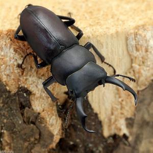 (昆虫)国産コクワガタ 成虫 サイズフリー(1ペア)