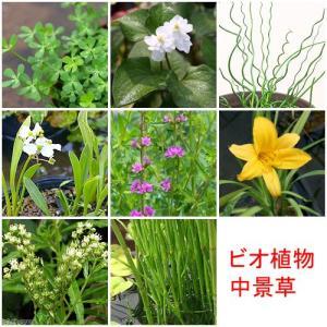 (ビオトープ)水辺植物 おまかせ水辺植物 中景草5種セット