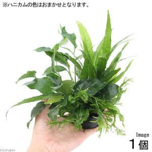 (水草)ハニカムシェルター 寄せ植えミックス Ver.ミクロ&アヌビアス(1個) 北海道航空便要保温|chanet