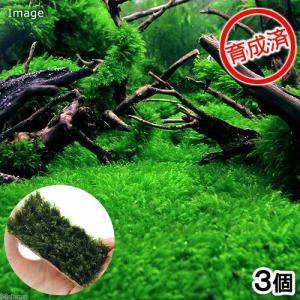 (水草)育成済 ウォーターフェザープレート(無農薬)(3個)|chanet
