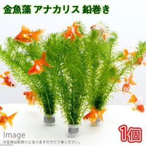 (水草)メダカ・金魚藻 アナカリス 鉛巻き(7〜10本)(1個)