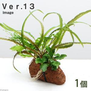 (水草)Plants Arrangement ザ ボンサイ Ver.13(1個) 北海道航空便要保温