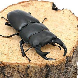 (昆虫)国産オオクワガタ 産地累代数不明 成虫 65〜69mm(1ペア) 北海道航空便要保温 chanet