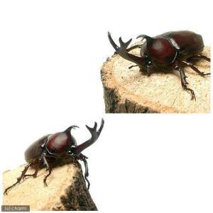 (昆虫)国産カブトムシ 幼虫(2〜3令)(3匹...の詳細画像1