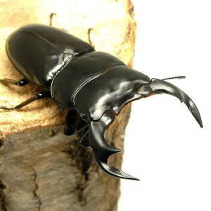 (昆虫)アンタエウスオオクワガタ インド サディア産 幼虫(初〜2令)(1匹)