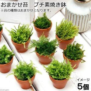 メーカー:■神田直接 メーカー品番: _hachu コケシリーズ aquaterrarium 水草 ...