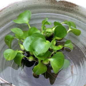 (水草 水辺植物)ホテイ草(ホテイアオイ)(10株) 金魚 メダカ