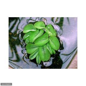 (ビオトープ/水辺植物)オオサンショウモ(無農薬)(9株)
