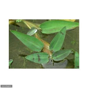 (ビオトープ/水辺植物)ヒグロリーザ アリスタータ(無農薬)(10株)