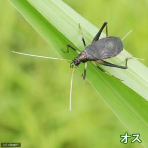 (昆虫)スズムシ 鈴虫 メス 成虫(10匹)