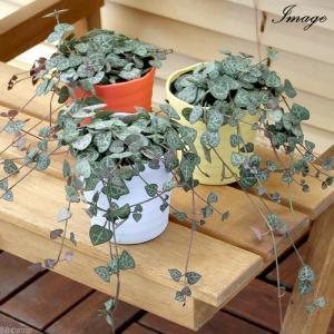 (観葉植物)ハートカズラ(セロペギア ウッディー) 2.5号(1鉢)の画像