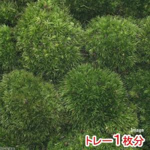 (観葉植物/苔)半トレー ヤマゴケ(ホソバオキナ...の商品画像
