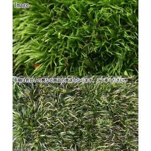 (観葉植物/苔)半トレー ヤマゴケ(ホソバオキ...の詳細画像2