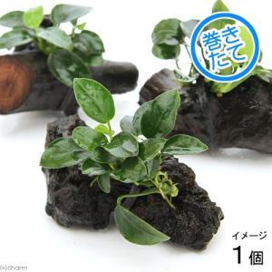 (水草)アヌビアスナナ プチ 流木付 ミニサイズ(1本)(約8cm以下) 北海道航空便要保温