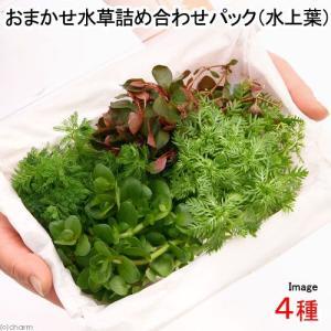 (水草)おまかせ水草詰め合わせパック 4種(水上葉)(無農薬)(1パック) 熱帯魚 北海道航空便要保温