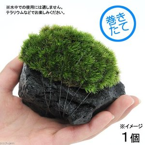 (観葉植物/苔)テラ向け ヤマゴケ付溶岩石 Sサイズ(約8〜10cm)(1個)