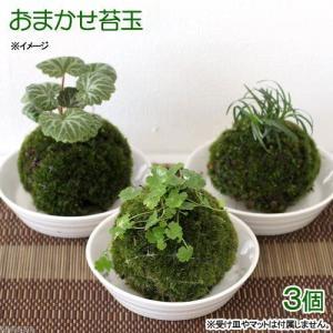 (盆栽)苔玉 植物おまかせ(3個) 観葉植物 コケ玉