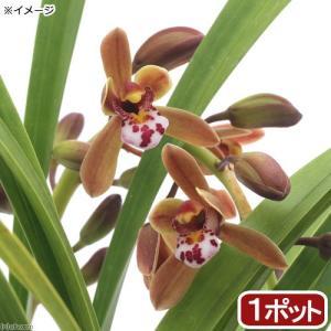 (山野草)ミツバチラン(蜜蜂蘭)金稜辺 3.5号...の商品画像