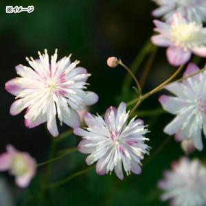 (山野草)台湾梅花カラマツ 2.5号(1ポット)