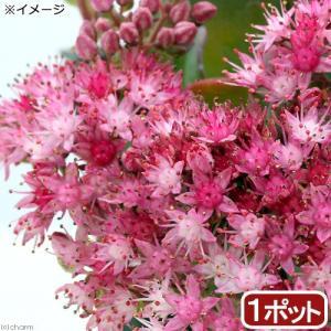 丈夫な多肉植物!日高ミセバヤは北海道(十勝・日高地方)の山地や海岸に見られる多肉植物の仲間です。丈夫...
