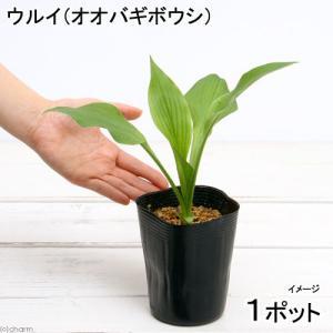 (ビオトープ)水辺植物 ウルイ(オオバギボウシ)(1ポット分)
