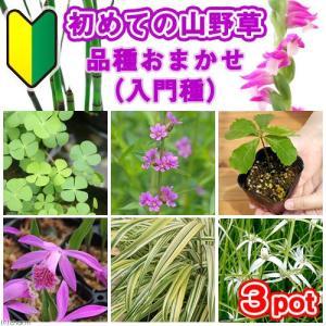 (山野草)初めての山野草 品種おまかせ(入門種)(3ポット)