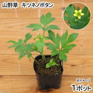 (ビオトープ/水辺植物)キツネノボタン 3号(1ポット)
