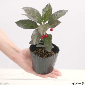 (山野草)盆栽 十両 ヤブコウジ(藪柑子) 2.5号(1ポット)