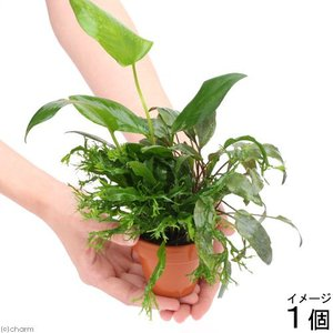(水草)素焼き鉢 寄せ植えミックス Ver.アヌビアス・ミクロソリウム・クリプトコリネ(1個) 北海道航空便要保温|chanet