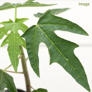 (観葉植物)果樹苗 パパイヤ 3号(約15cm)(1ポット)...