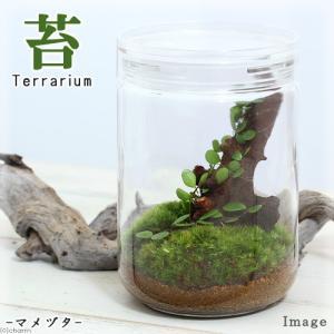 (観葉植物)苔Terrarium マメヅタ ガラスボトルL 説明書付 テラリウムキット 本州・四国限定|chanet