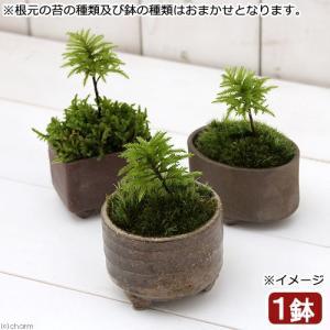 (盆栽)苔盆栽 益子焼鉢植え コウヤノマンネングサ 鉢おまかせ(1鉢)