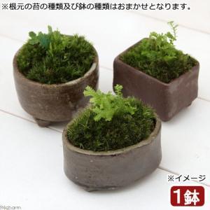 (盆栽/苔)苔盆栽 益子焼鉢植え クラマゴケ 鉢おまかせ(1鉢)