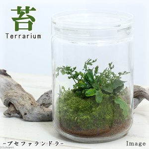 (観葉植物)苔Terrarium ブセファランドラ ガラスボトルL 説明書付