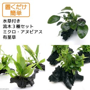 (水草 熱帯魚)置くだけ簡単 水草付き流木3種セット(ミクロ・アヌビアス・有茎草)