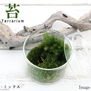 (観葉植物)苔Terrarium 苔ミックス 蓋付カップL 説明書付