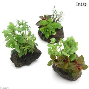 (水草 熱帯魚)ミニサイズ Plants Arrangement ザ ボンサイ(無農薬)(1個)|chanet