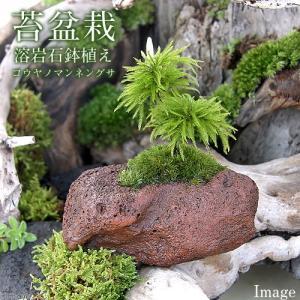 (観葉植物)苔盆栽 コウヤノマンネングサ 溶岩石 鉢植え(1鉢)|chanet