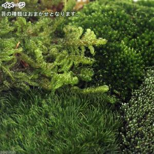 (観葉植物)苔 苔アソート 4種ミックス 品種表記なし 1パック分